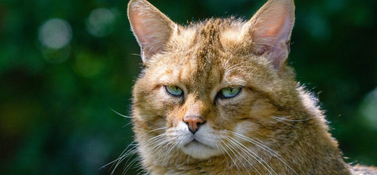 Artenschutz – Wildkatze ist Tier des Jahres 2018